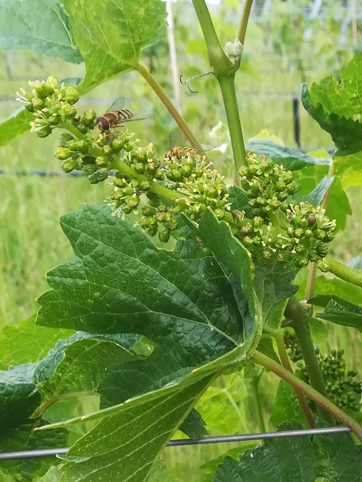Floraison et insectes pollinisateurs